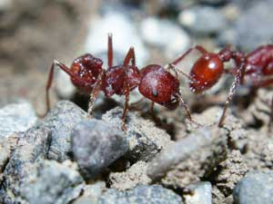 Ants Body Odor Physical Contact Get Worker Ants Working Study Finds