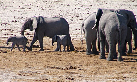 Elephant: Herds