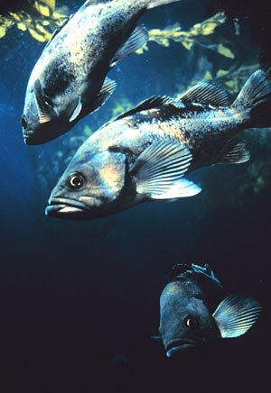 Overfishing led to the depletion of California's rockfish populations