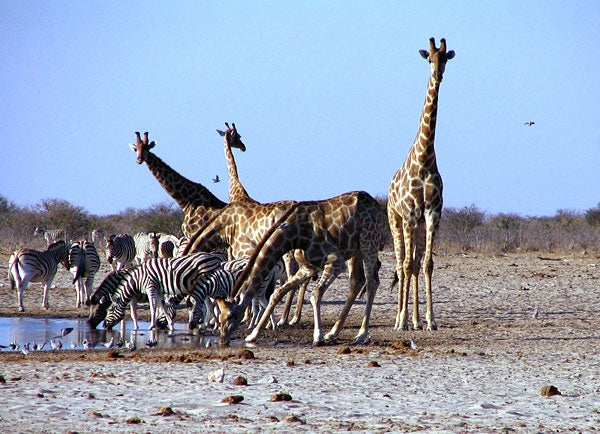 Removing zebras, giraffes and other large vegetarian mammals from the African savanna can cause dramatic population shifts