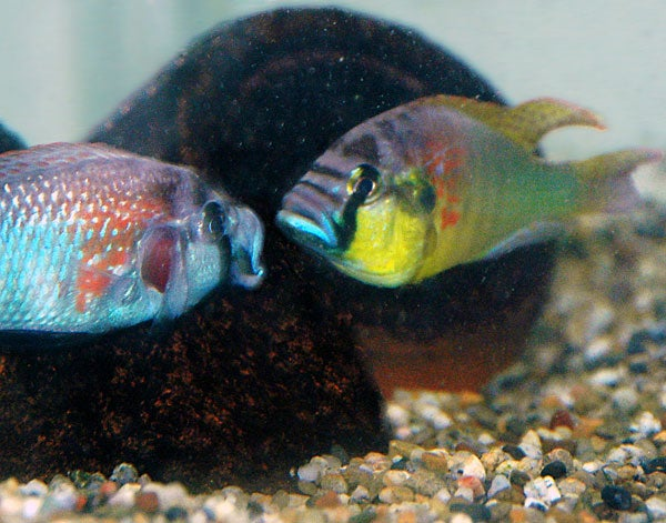 Two male African cichlids square off in a territorial fight