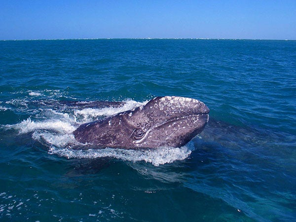 the extinction of the grey whale Western north pacific gray whales (wgws), once considered extinct, are critically  endangered with unknown migratory routes and reproductive.