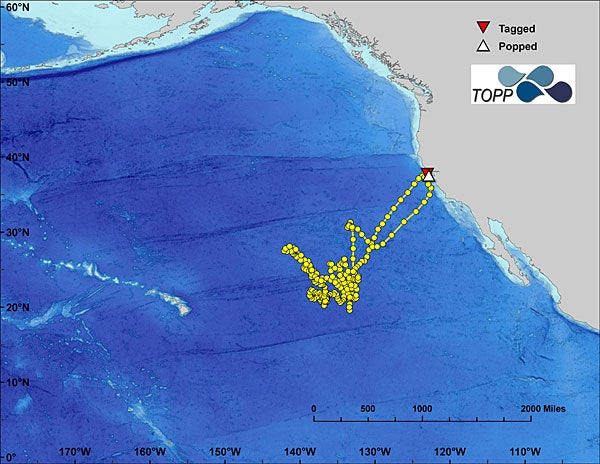 oute of a single tagged white shark