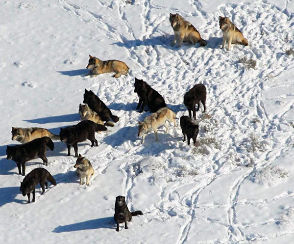 the benefits of reintroducing the wolf into the rocky mountain national park Reintroduction of wolves brings controversy  a yellowstone national park wolf races across  a rocky mountain wolf recovery plan was approved by the national .