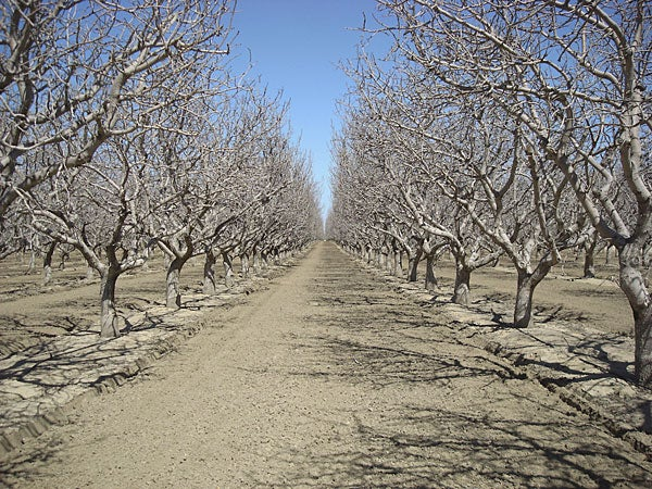 California almond orchard