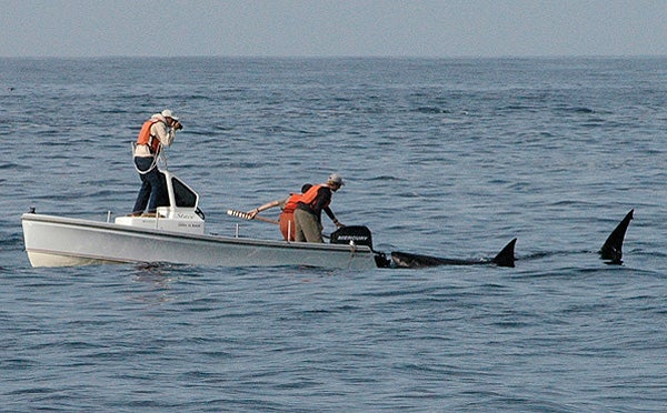A large white shark approaches the tagging boat.