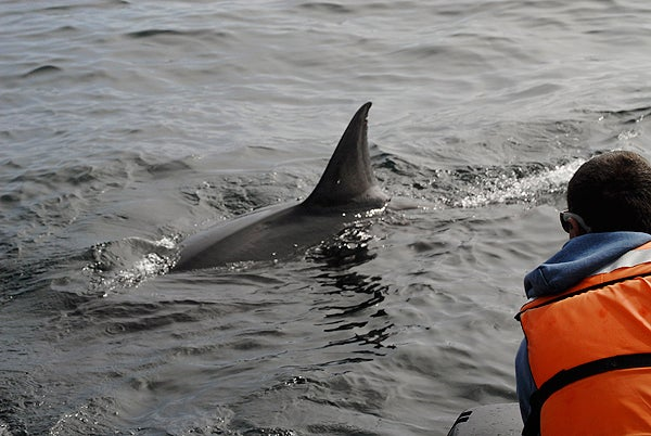 White shark biologist Scot Anderson looks on as a large white shark glides past.