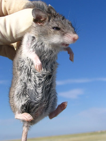 A grasshopper mouse, the likely carrier of plague in prairie dog towns, Stanford researchers say.