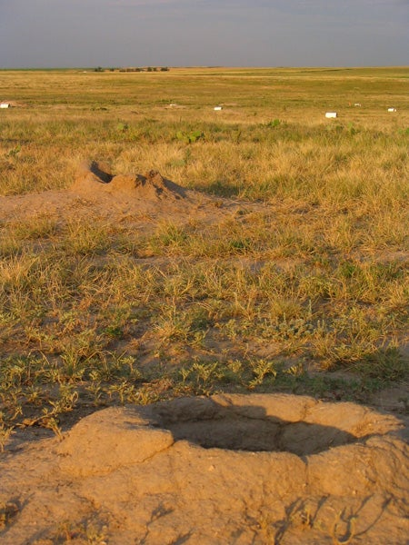 Prairie dog burrows with small mammal traps in the distance. Prairie dog towns can extend for 500 acres.