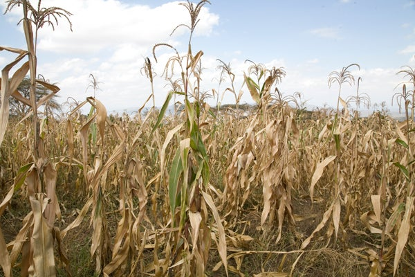 Researchers say that higher temperatures could significantly reduce yields of wheat, rice and maize – dietary staples for tens of millions of poor people who subsist on less than $1 a day.