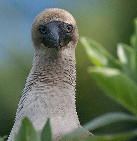 Seabirds like the booby spread nutrients to land ecosystems.