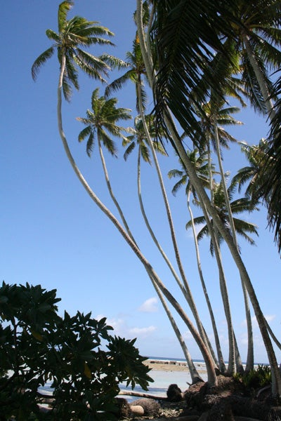 Coconut Palms Bring Ecological Change To Tropics Stanford