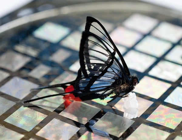 The sensor is sensitive enough to detect this chorinea faunus butterfly placed on it.