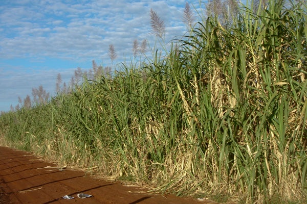 A field of sugarcane