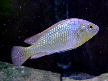 Subordinate male cichlid