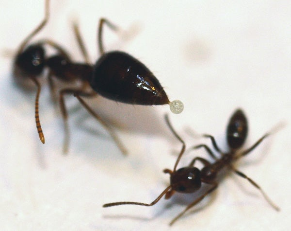 A native winter ant in the act of trying to apply a drop of the whitish toxin it can secrete from its abdomen onto an Argentine ant.