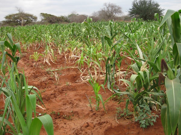 An experimental maize field in Kiboko, Kenya