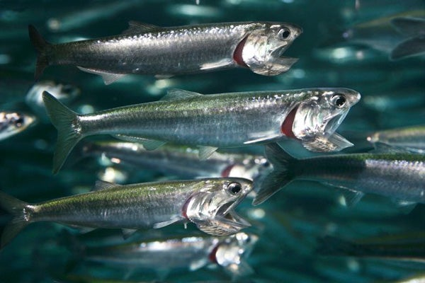 Northern anchovies at Monterey Bay Aquarium