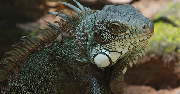 Iguana in the Amazon basin