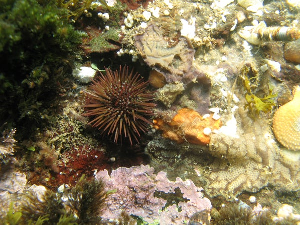 A sea urchin nestled in a crevice on a rocky reef in an area of normal acidity.
