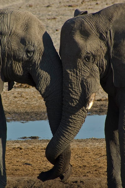 Low-ranking male elephants bonding