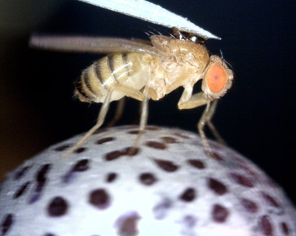 Enlarged fruitfly on a trackball