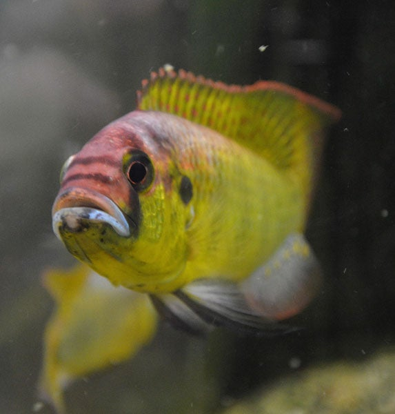 A dominant male cichlid