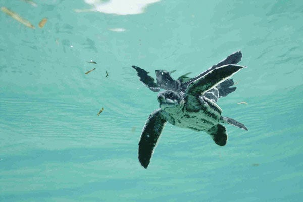 a study on the life and importance of leatherback sea turtle Education rainbow: kid-friendly turtle resources  kid-friendly resources for the study of sea  academic kids has information on the leatherback sea turtle with.