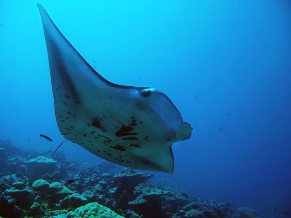 Manta ray off the coast of Palmyra Atoll