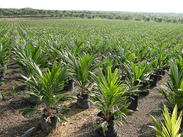 An oil palm nursery in Borneo.