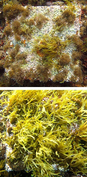 Two images, one showing far less algae growth than the other