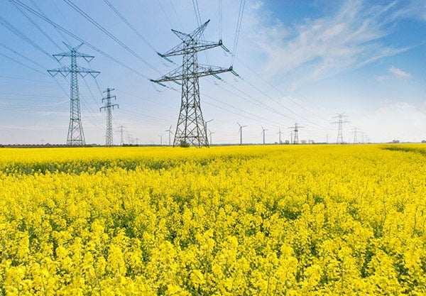 Power lines across a field of flowers