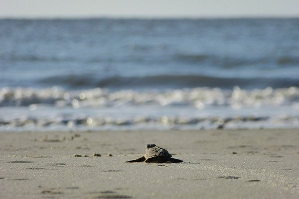 A sea turtle hatchling takes its first journey to the sea.