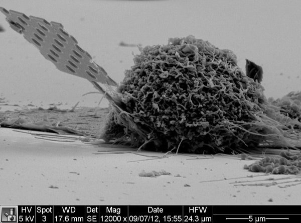 This scanning electron microscope (SEM) image shows a nanobeam probe, including a large part of the handle tip, inserted in a typical cell.