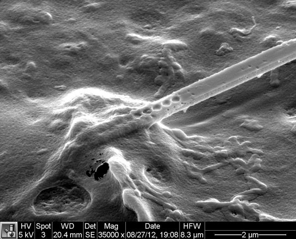 This image shows a photonic nanobeam inserted in a cell. Clearly visible are the etched holes through the beam as well as the sandwich-like layer structure of the beam itself.