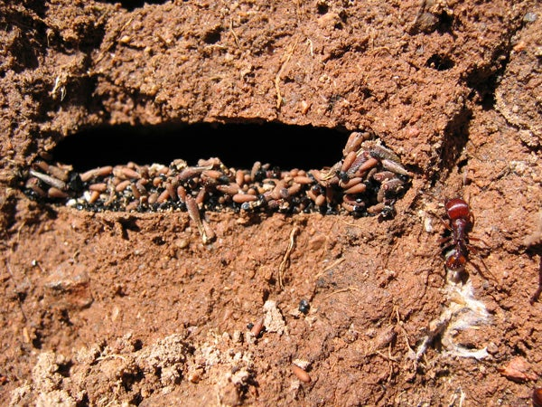 Harvester ants' underground chamber filled with seeds.