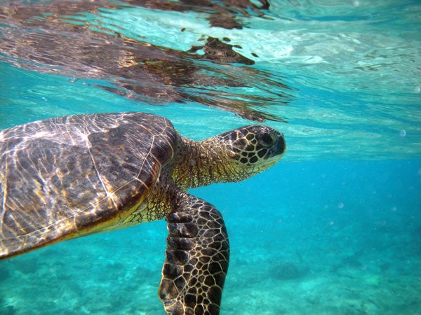 A green sea turtle glides through open water near the Hawaiian Islands.