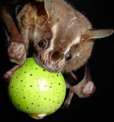 Bat eating fig.