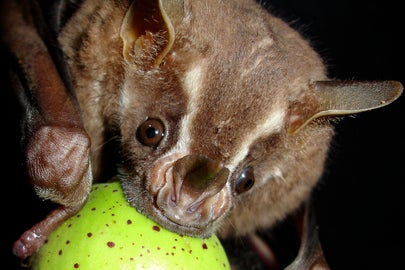 bat eating fig / Christoph Meyer