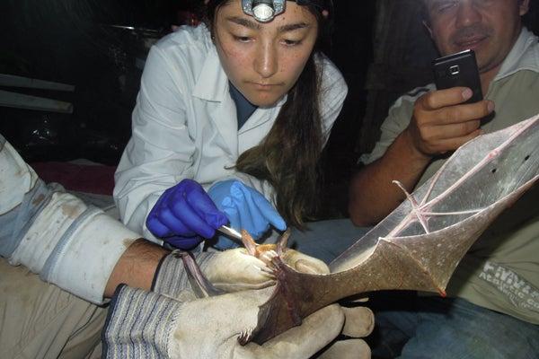 PhD student Hannah Frank examines Vampyrum spectrum (false vampire bat)