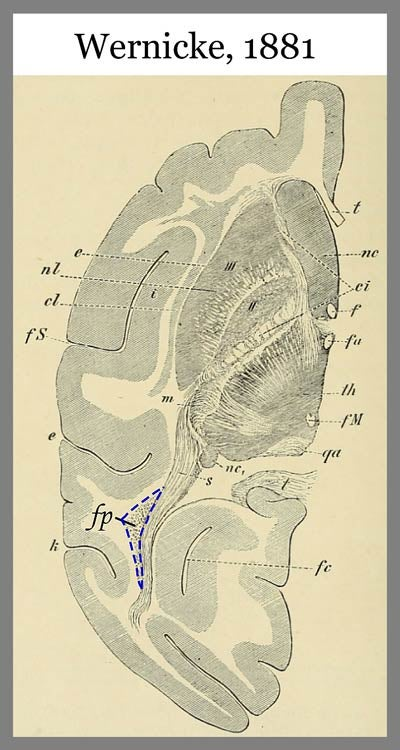 Illustration of a brain with section noted with dashed blue line.