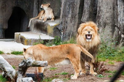 Lions at the San Francisco Zoo/ Photo: Norbert von der Groeben