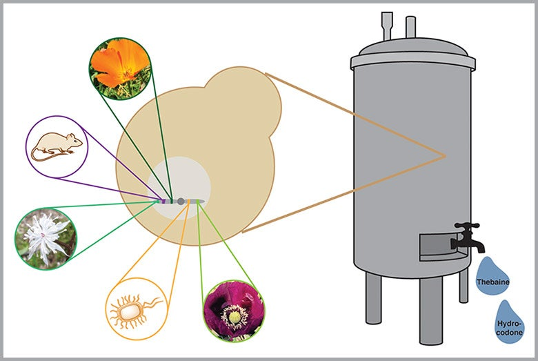 graphic of fermentor with representations of organisms that contributed genes to bioengineered yeast