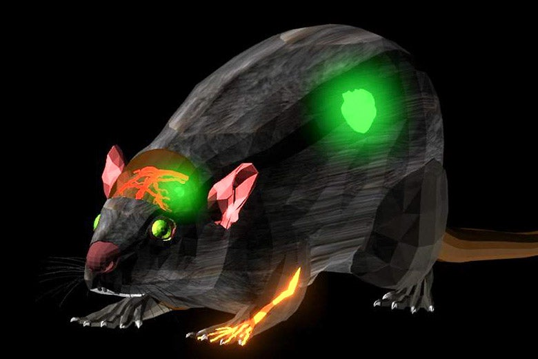 illustration of glowing dye in a rat