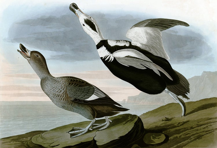 illustration of Labrador Duck