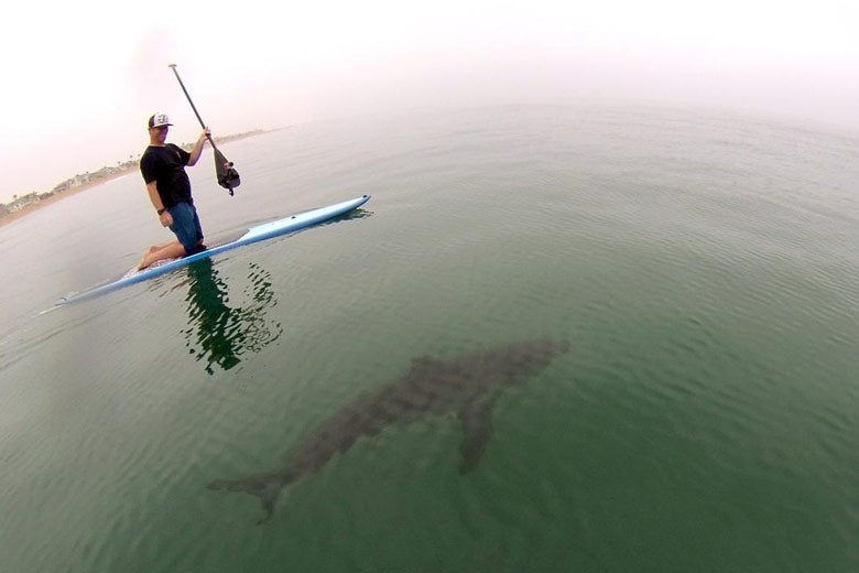 shark swimming beneath paddle board