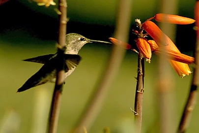 hummingbird / Courtesy David Lentink