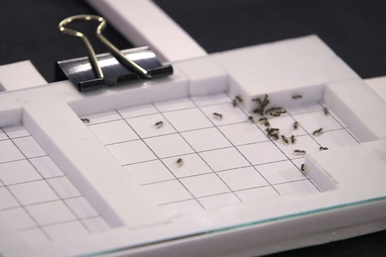 ants in simple-to-make device to track their movement