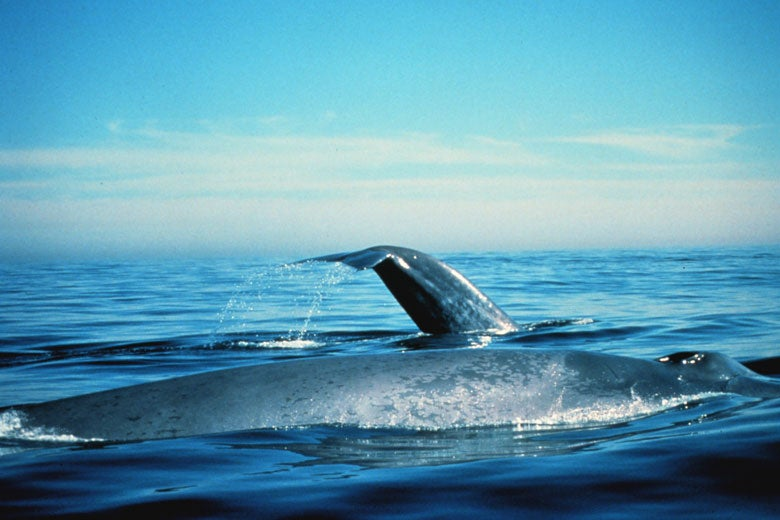 Blue whale surfacing in Gulf of the Farallones, California / NOAA