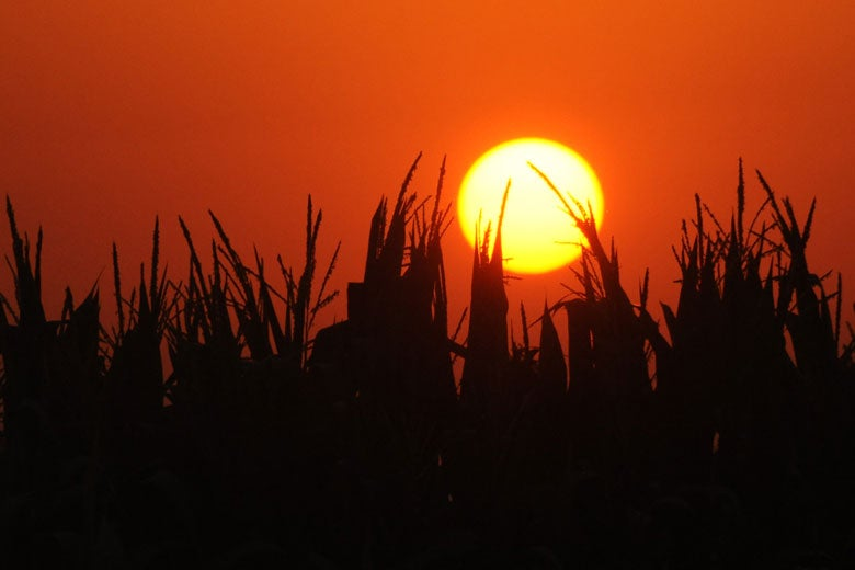 Sillhouette of corn with a large sun.